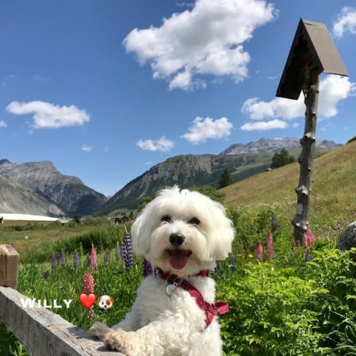 Willy, the Maltese dog from Livigno