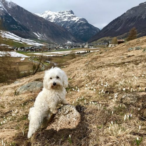 Willy ♥ Livigno - the snow has just melted