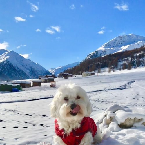 Willy ♥ The snow-friend maltese dog