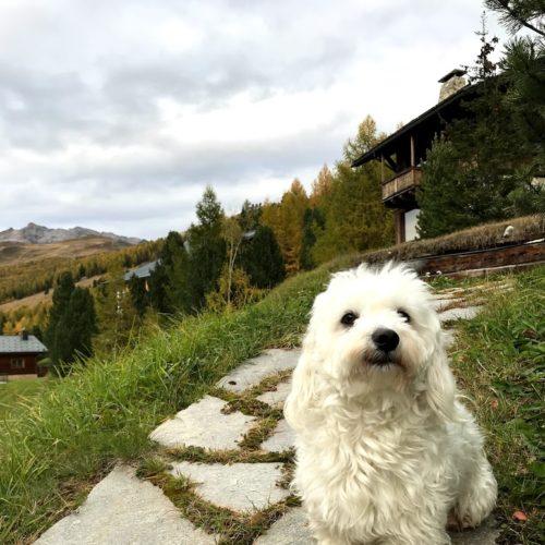 Willy ♥ Livigno - The Maltese Dog