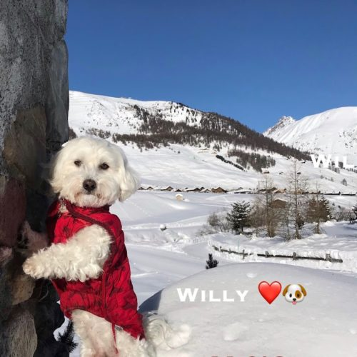 Willy ♥, the snow-friend maltese dog