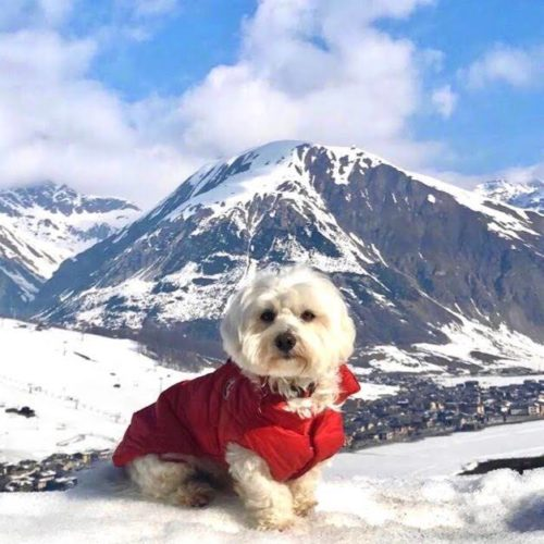 Willy ♥ Livigno - The snow friend Maltese dog