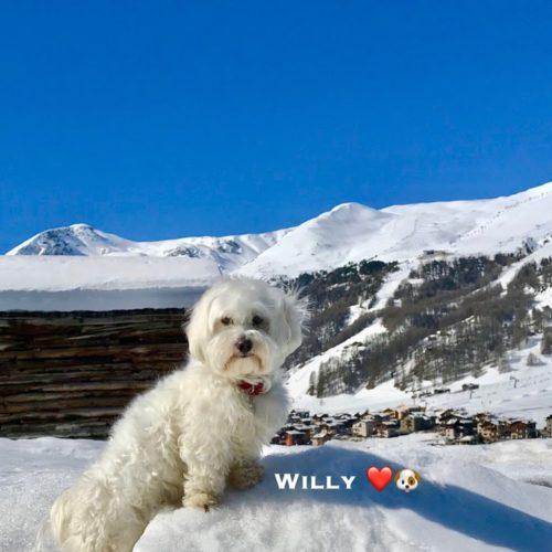 Willy ♥ Livigno - Snow-friend maltese dog