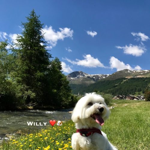 Willy ♥ Livigno among the flowers